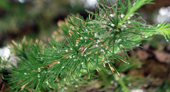 woolly larch adelgid damage