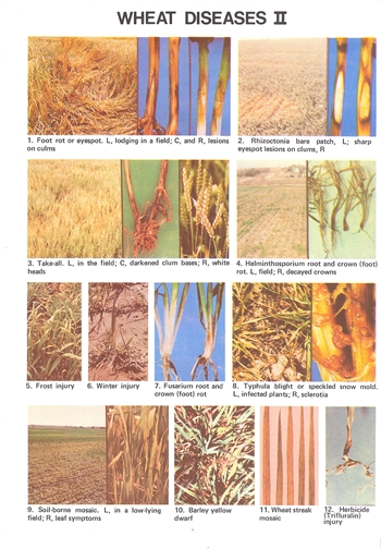 Wheat Diseases II (E1421)