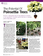 The potential of poinsettia trees