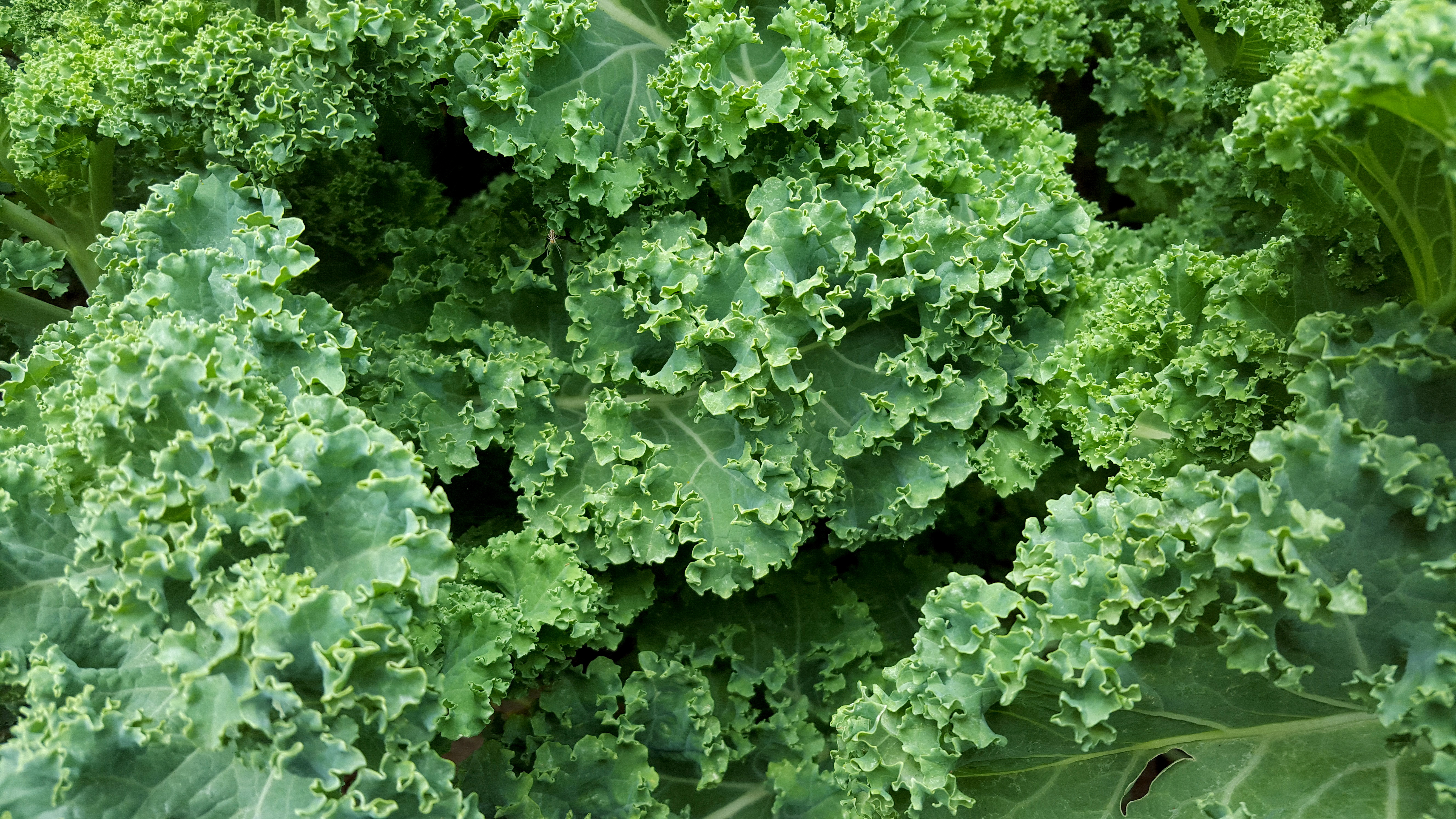 How to Grow Kale and Collards