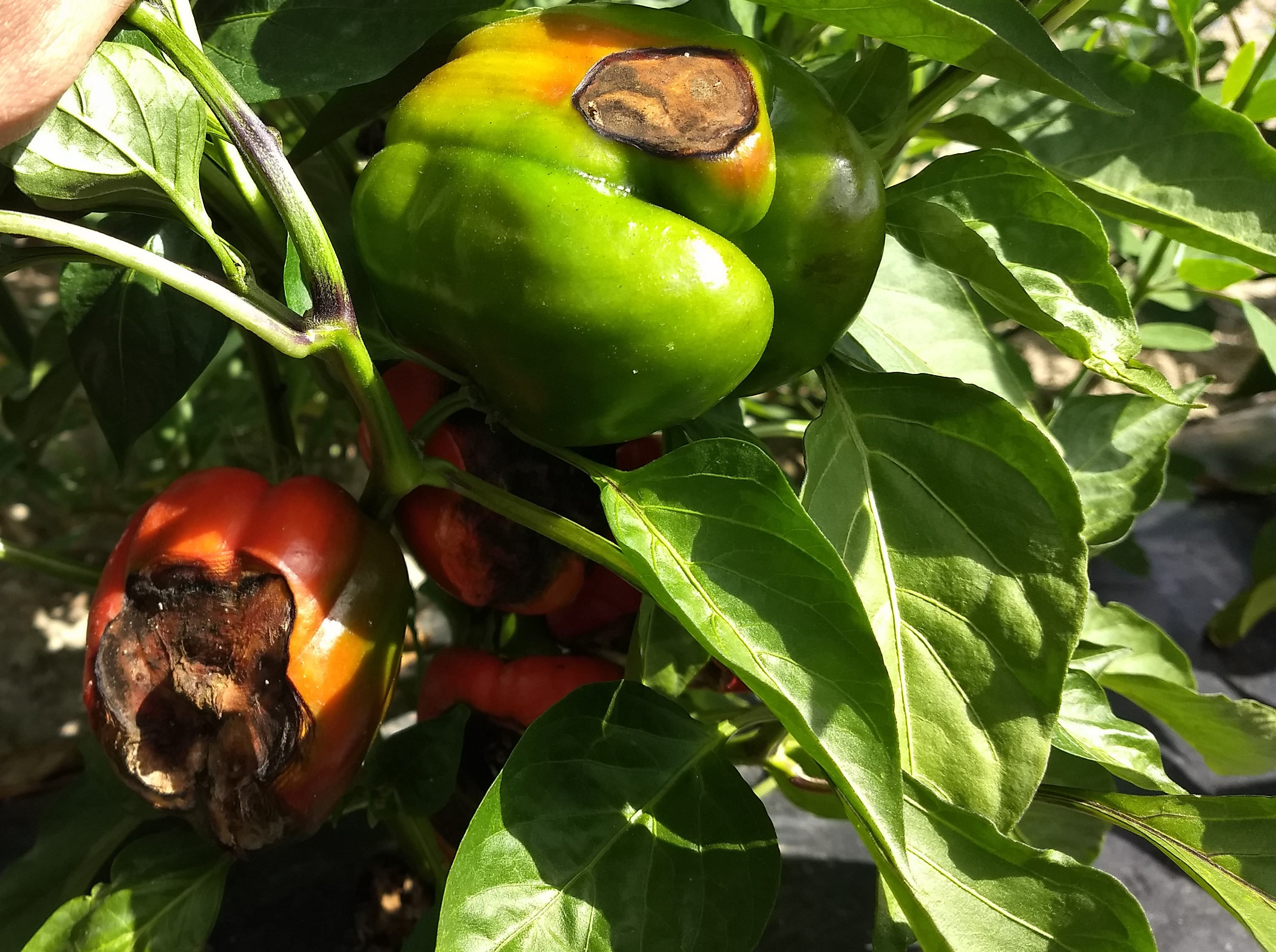 Blossom end rot, sunscald, and Anthracnose in bell peppers are confusing to tell apart.