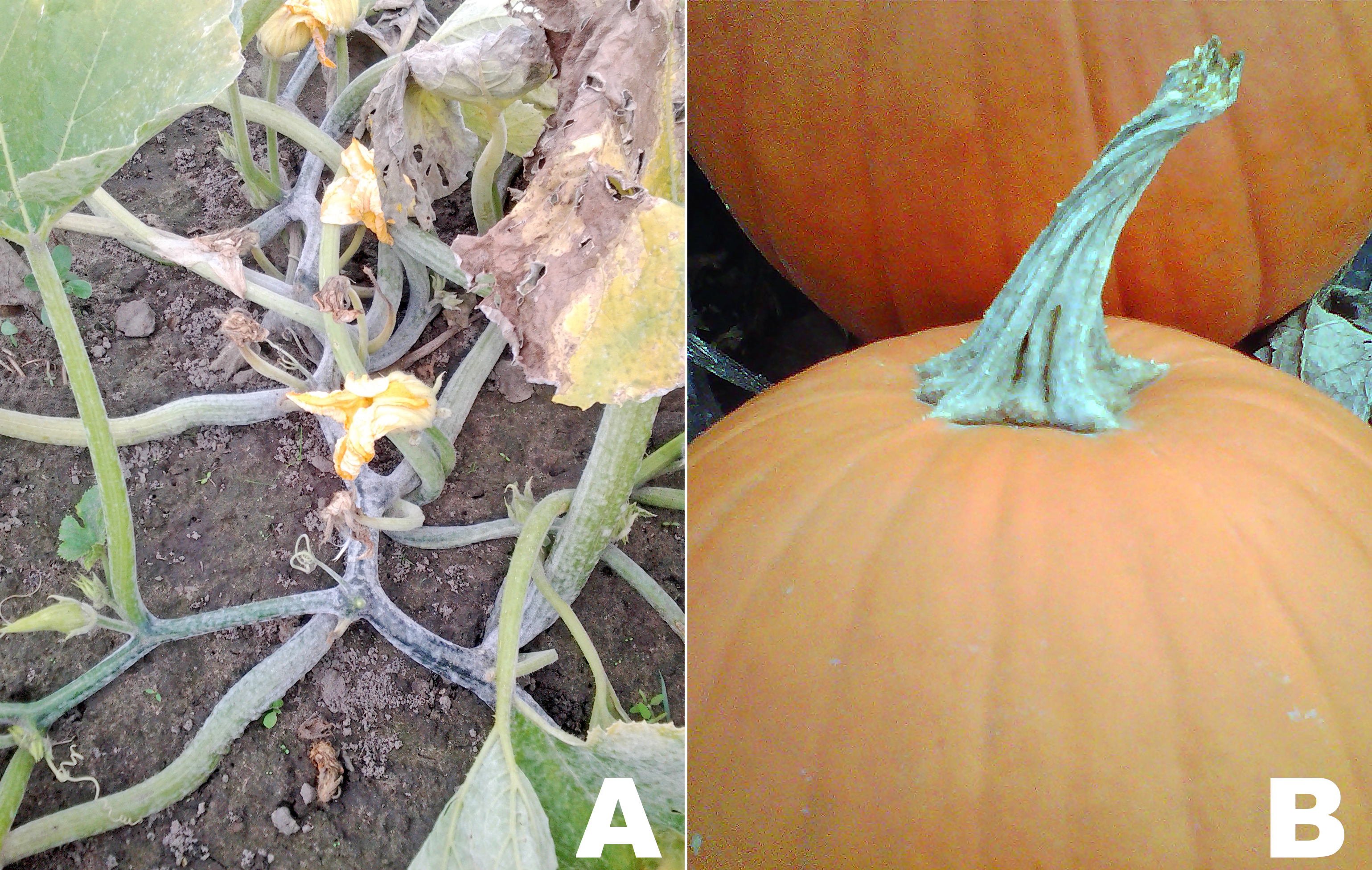 two photos of powdery mildew infestation