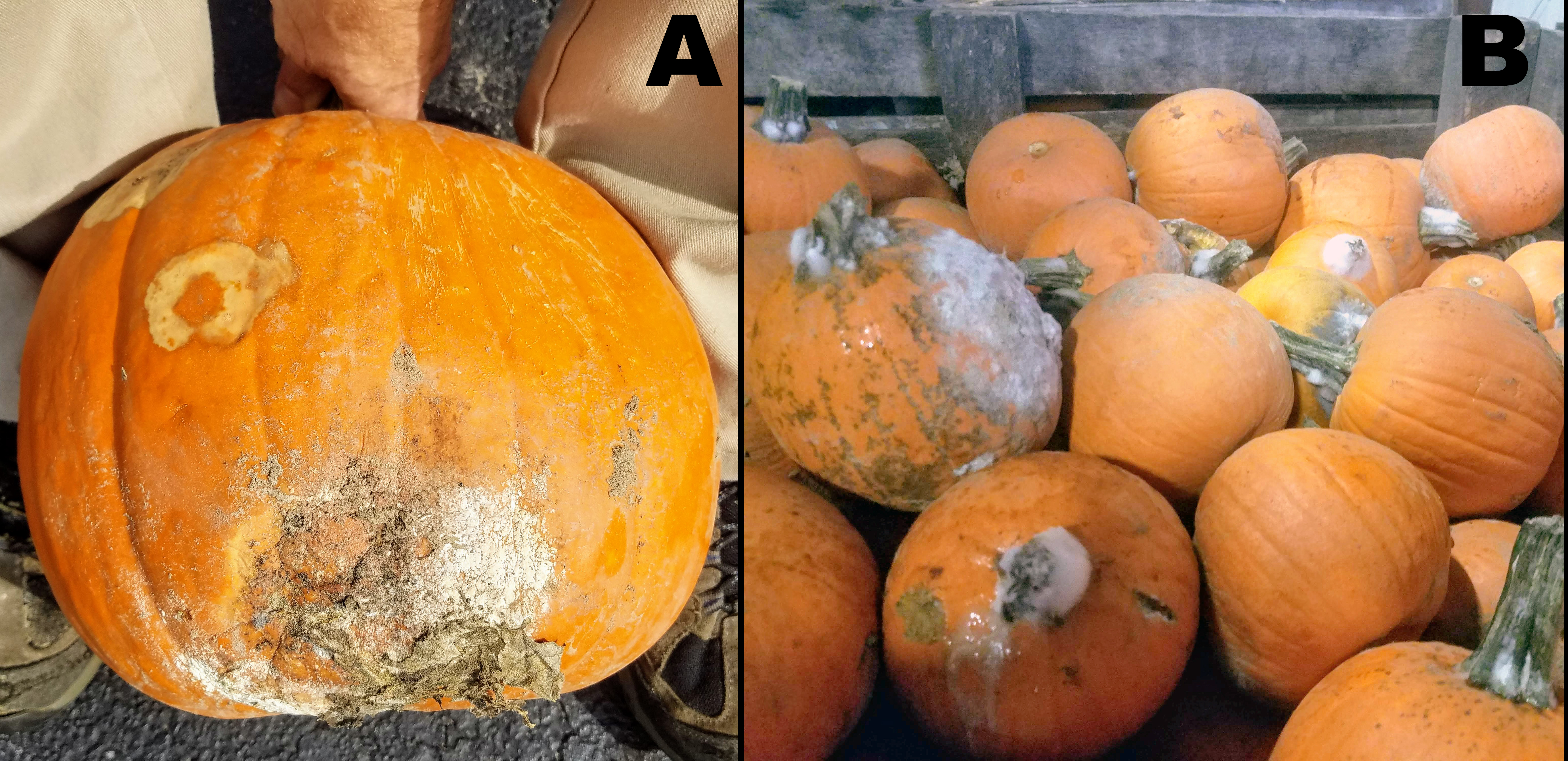 Rot on pumpkins
