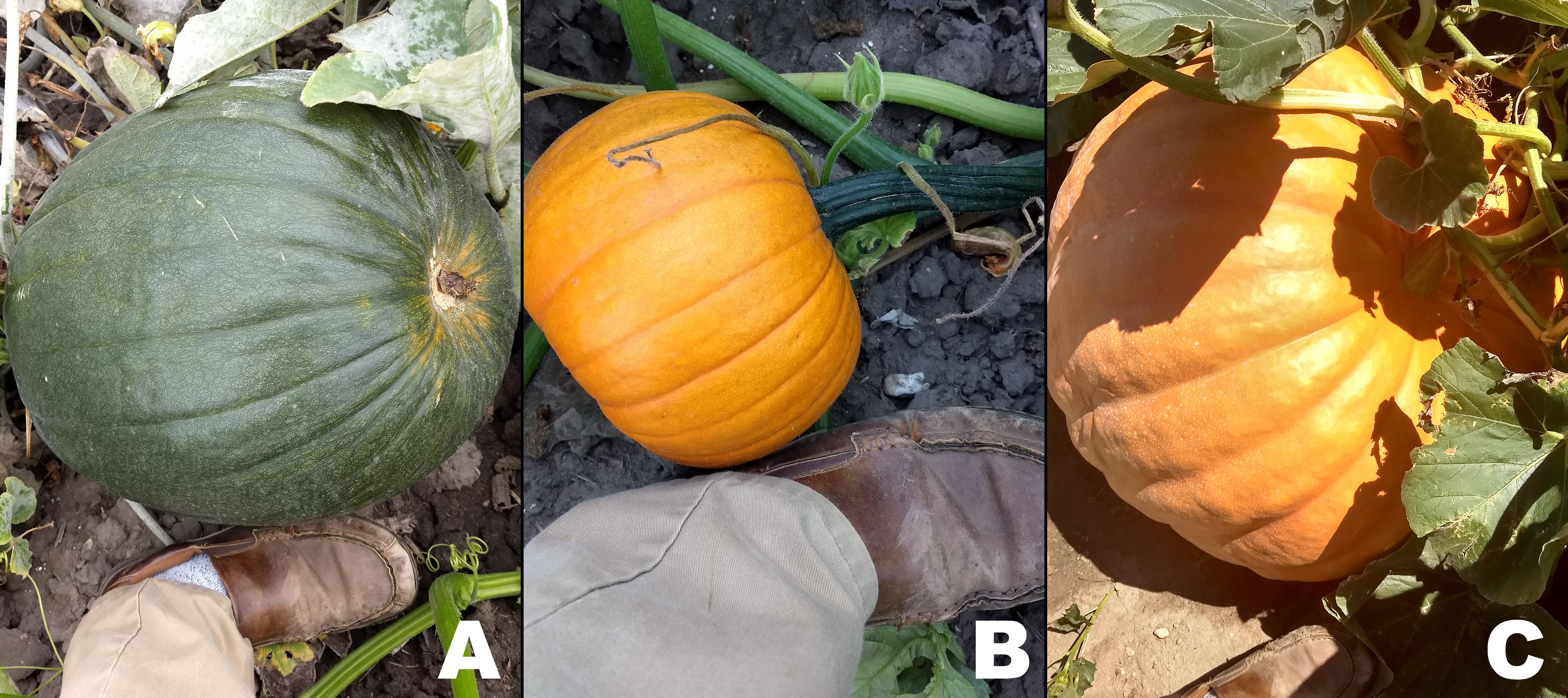 All three pumpkins will make it