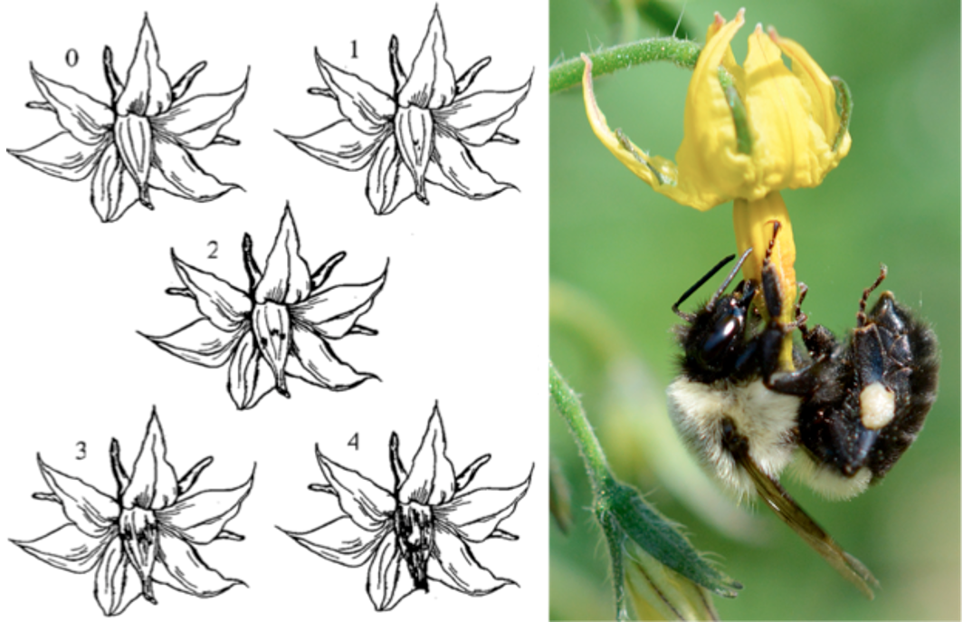 Bruising diagram and bee on stamen