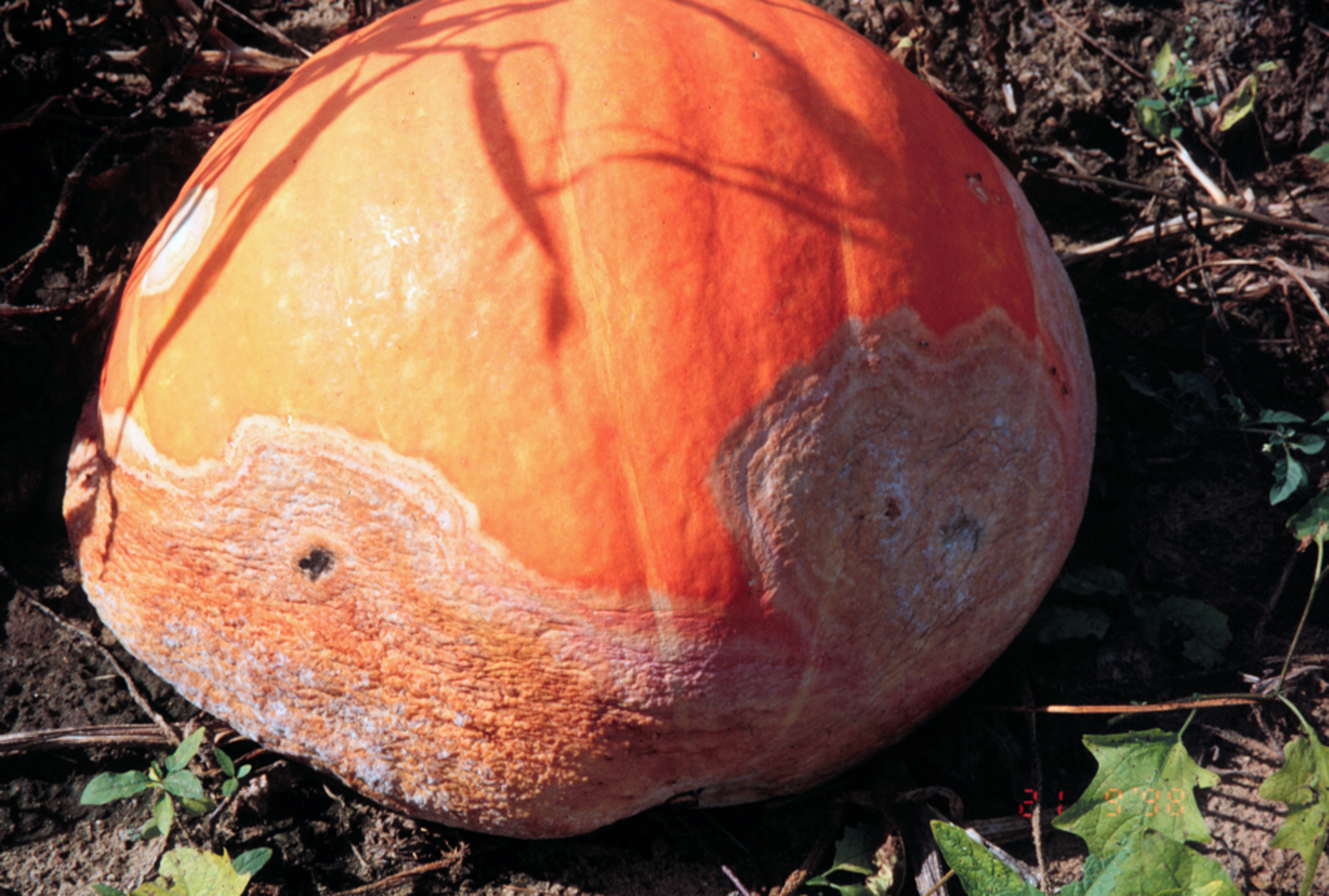Phytophthora on pumpkin