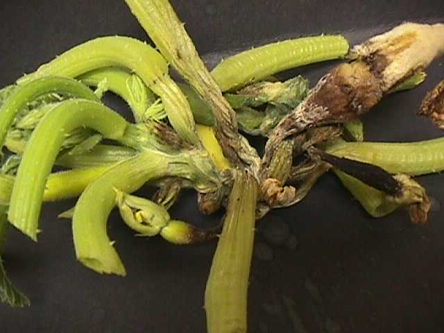 Phytophthora on squash