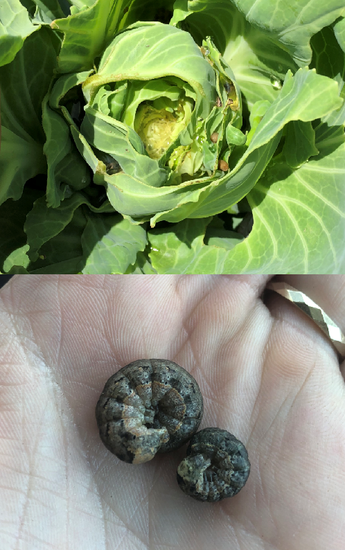 Armyworm in cabbage