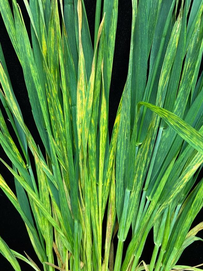 Symptoms of wheat spindle streak mosaic virus